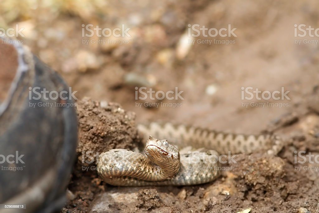 boot walking towards sand viper stock photo