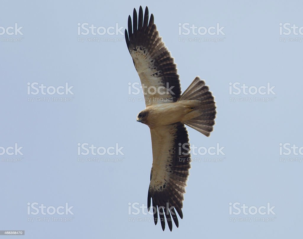 Booted Eagle royalty-free stock photo