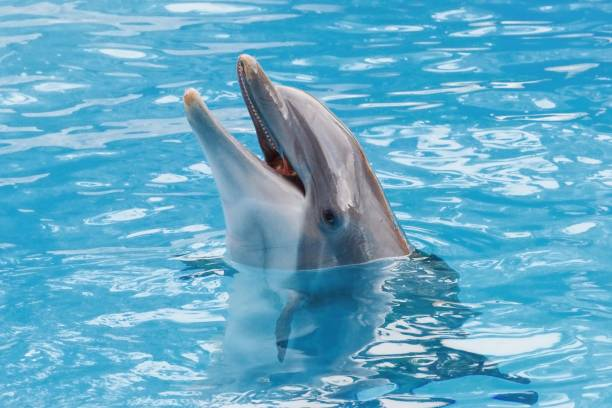 Bootlenose dolphin on the blue surface smiling Animal head animal captivity building stock pictures, royalty-free photos & images