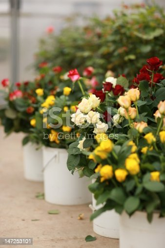 Beauty in nature - boquets of multi colored roses in pots