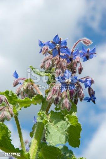istock Borage (Borago officinalis) against Blue Sky 173597740