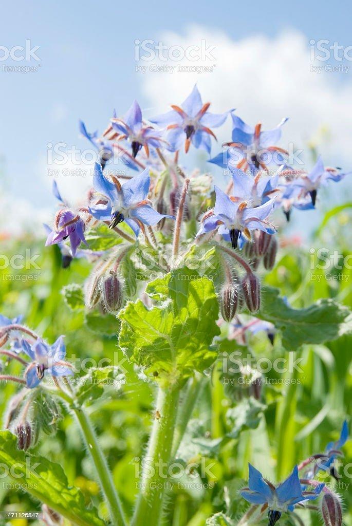Borragine (Borago officinalis) contro il cielo blu - foto stock