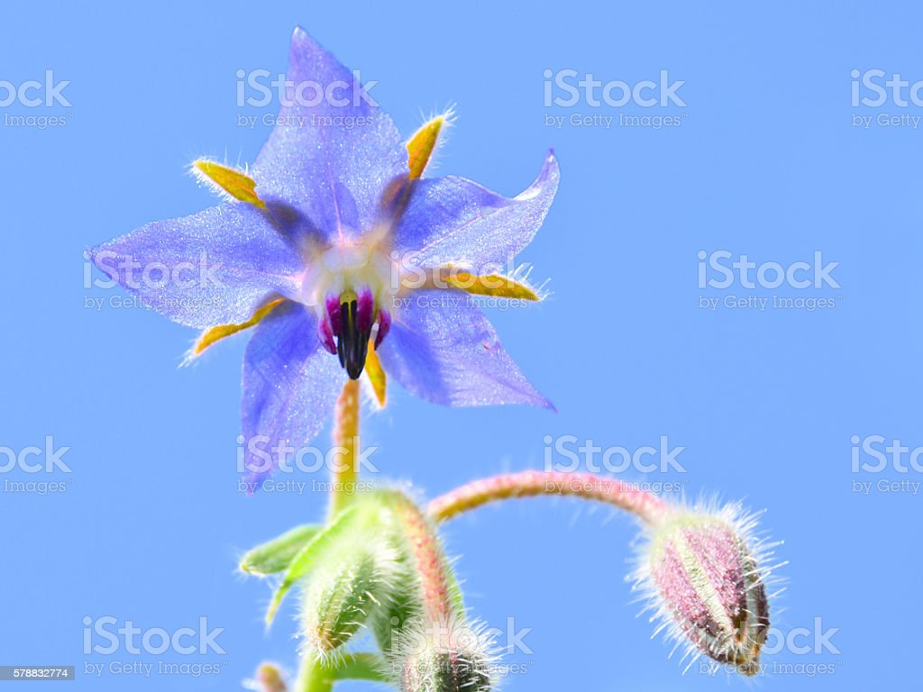 Borage blossom - foto stock