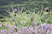 Borage Flower and Artichoke Plants Growing in Organic Vegetable Garden