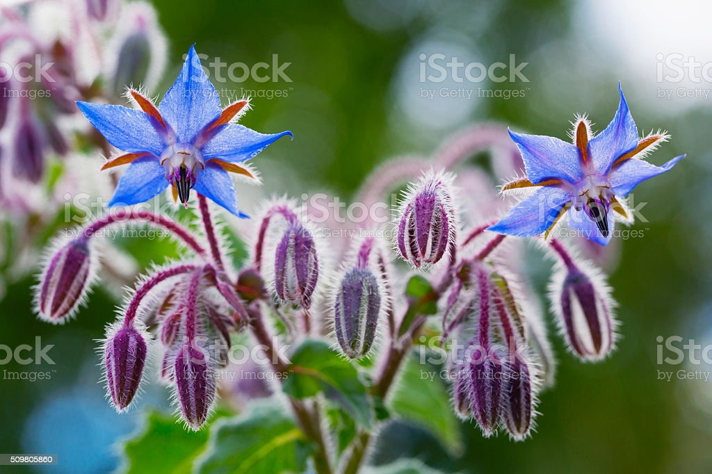 Borragine fiori primo piano (Borago officinalis) - foto stock