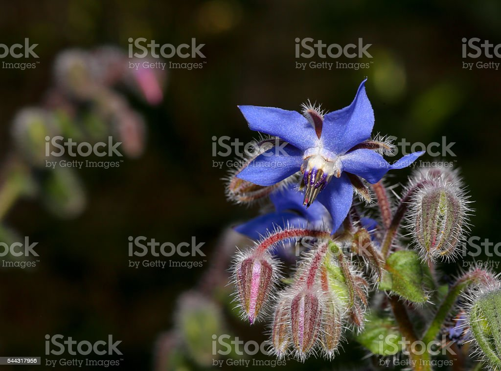 Borragine fiori (Borago officinalis) - foto stock