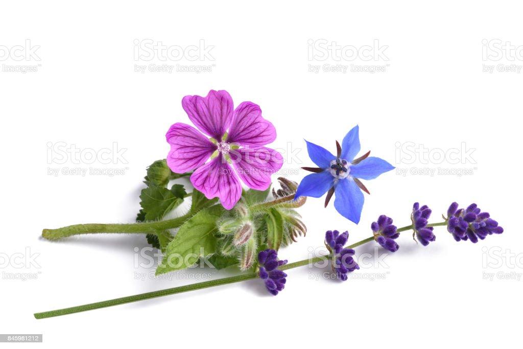 borage mallow and lavender stock photo