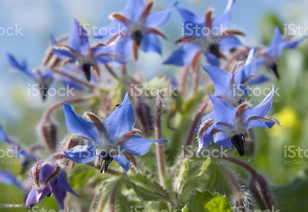 Borragine (Borago officinalis) - foto stock