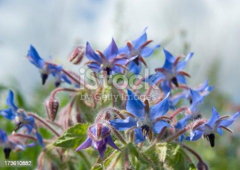 istock Borage (Borago officinalis) 173610882