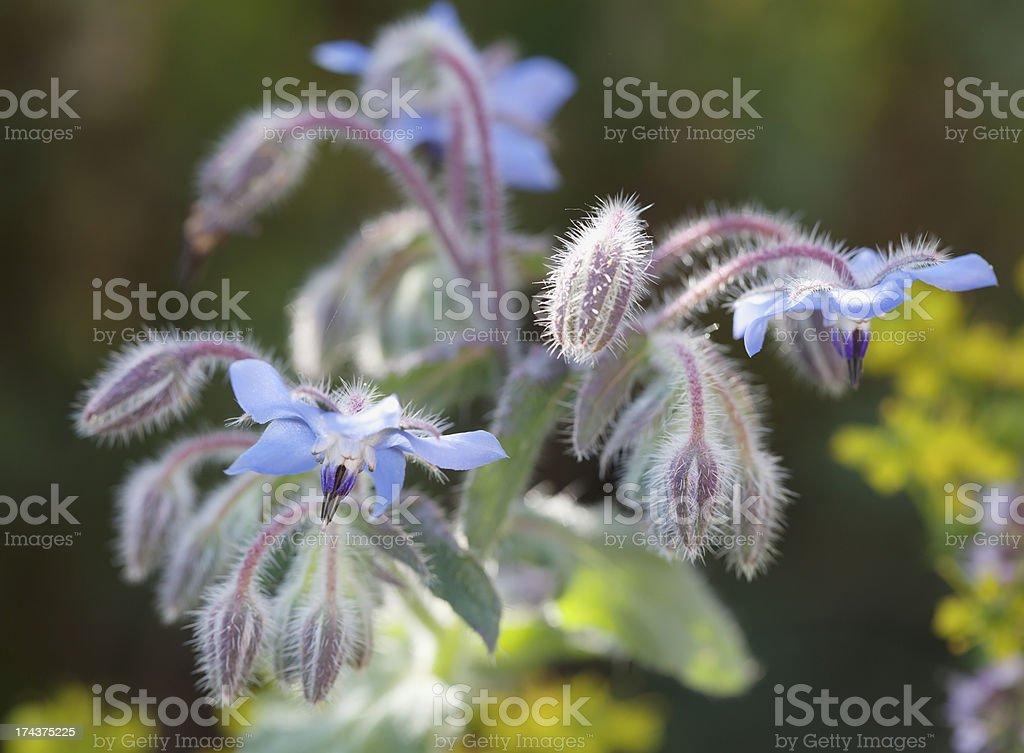 Borage (Borago officinalis) royalty-free stock photo