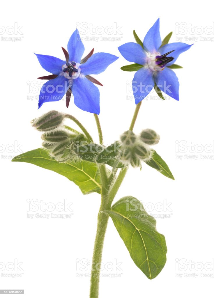 Borage  (Borago officinalis) - foto stock
