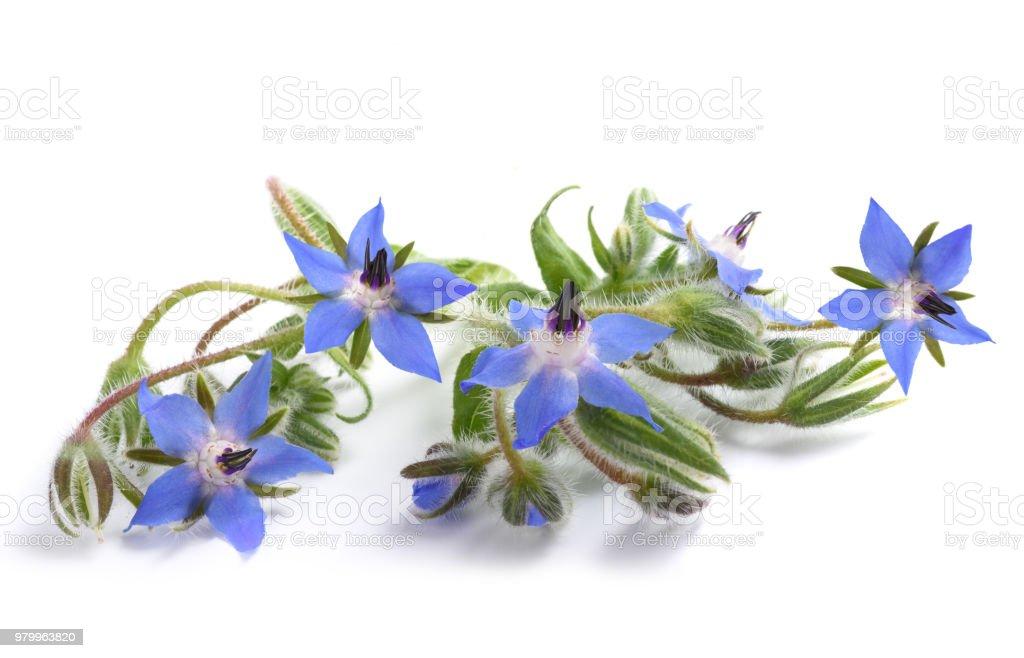 Borage  (Borago officinalis) - foto stock