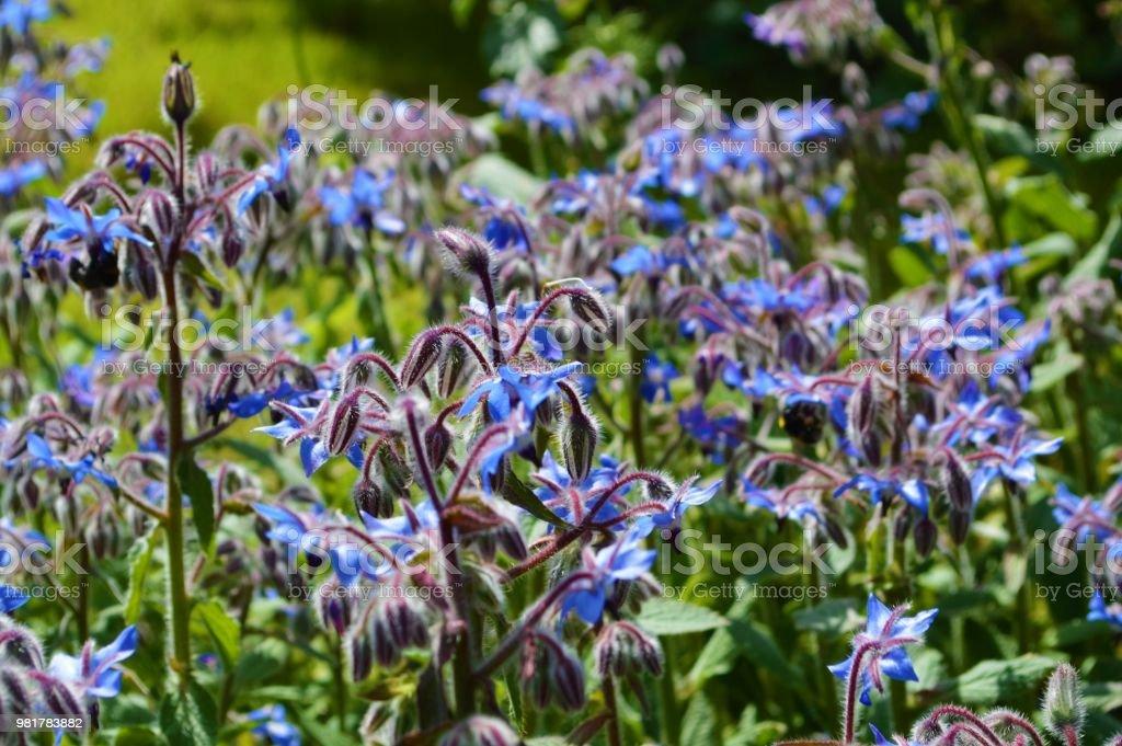 Borage (Borago officinalis). - foto stock