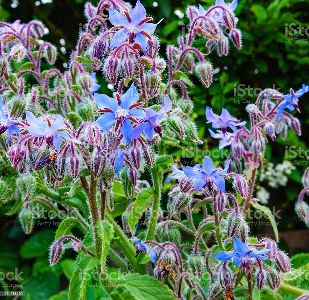 Borage plant / herb (Borago officinalis) in sunlight, blue flowers. - foto stock