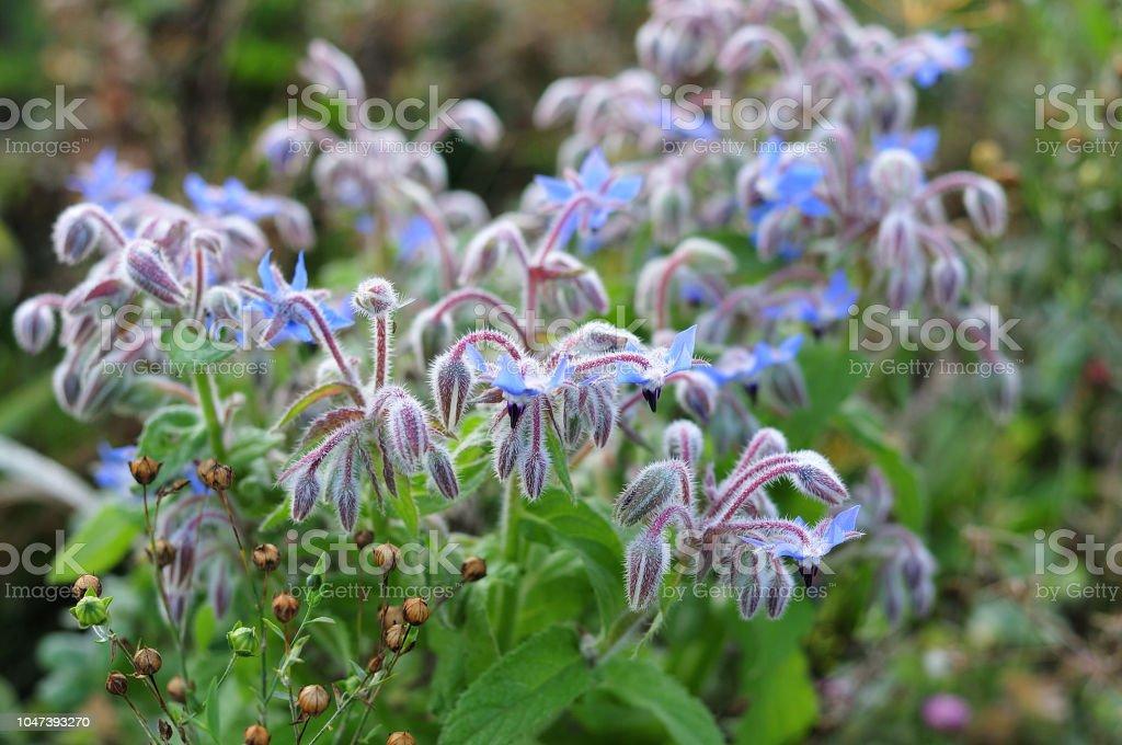 Borretsch Pflanze mit blauen Blüten – Foto
