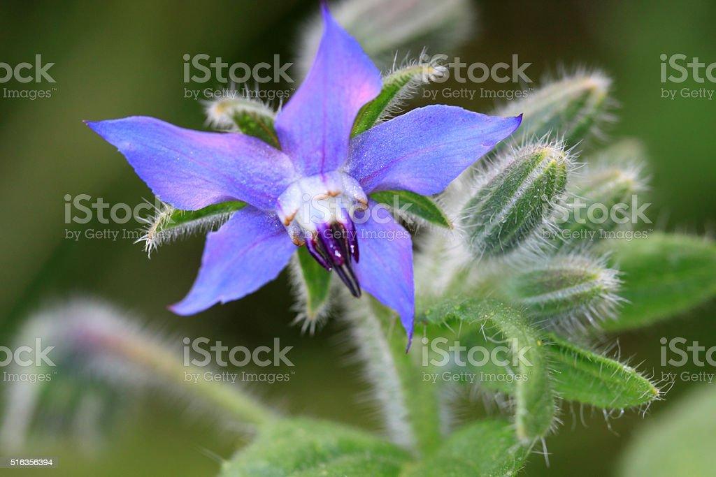Borago officinalis- erbe medicinali - foto stock