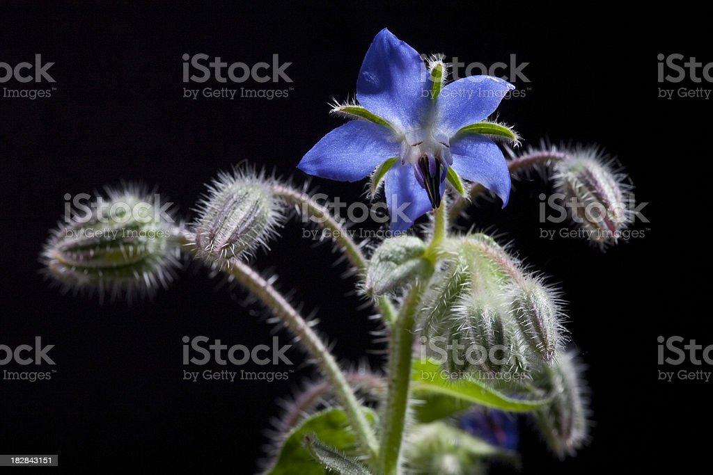 borago officinalis - foto stock