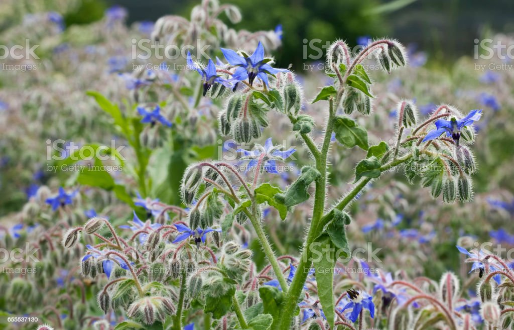 Borago Officinalis Plant - foto stock