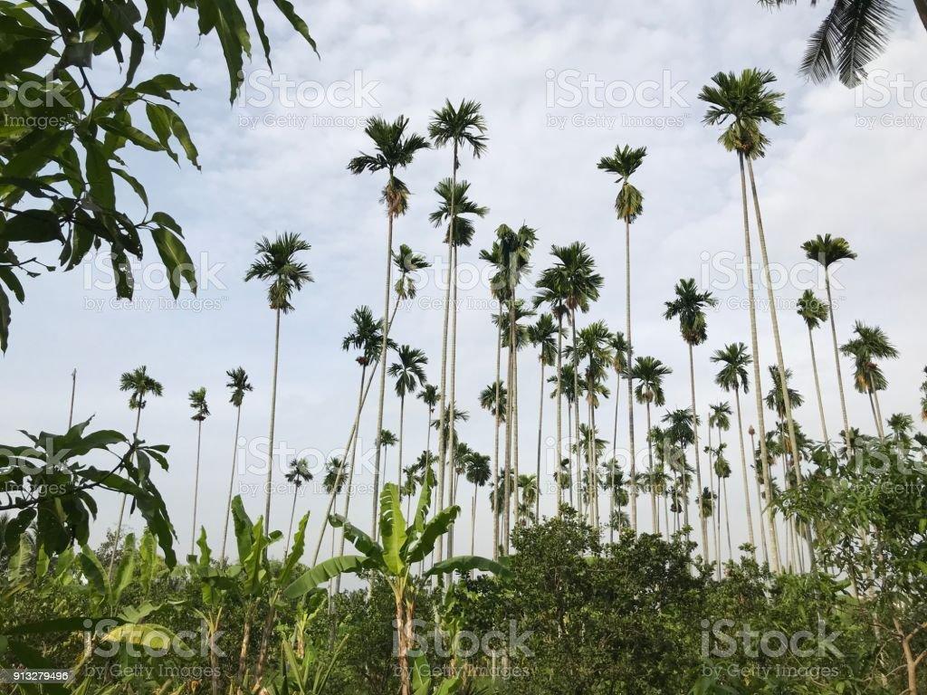 Borassus flabellifer or Doub palm or Palmyra palm or Tala palm or Toddy palm or Wine palm. stock photo