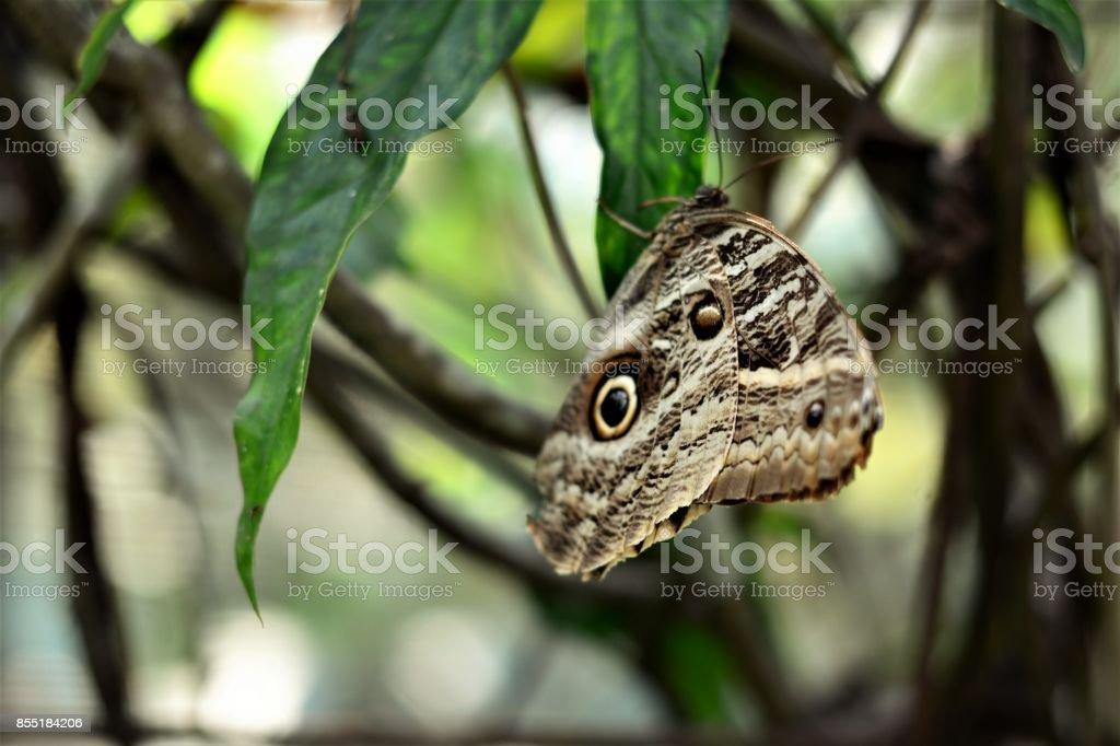 Borboleta Caligo na folha stock photo