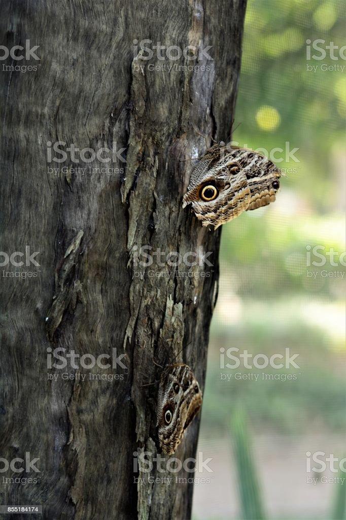 Borboletas Caligo no tronco da árvore stock photo