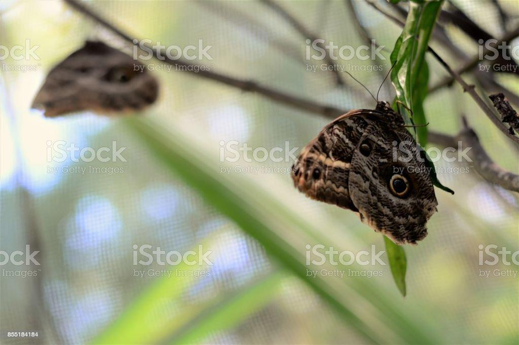 Borboletas Caligo pousadas no galhos da mata stock photo