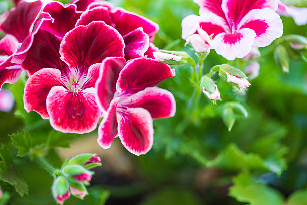 Bordeaux geranium flower isolated from others on green foliage b stock photo
