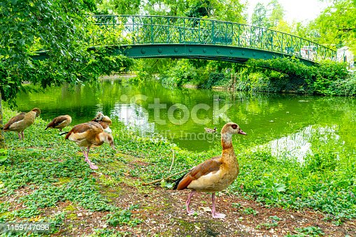 Bordeaux, France, Public park with still waters on a lake and the branches of nearby trees overhanging the water. There is a group of Egyptian Geese near the camera.It is between Cours de Verdun and Rue de la Course.