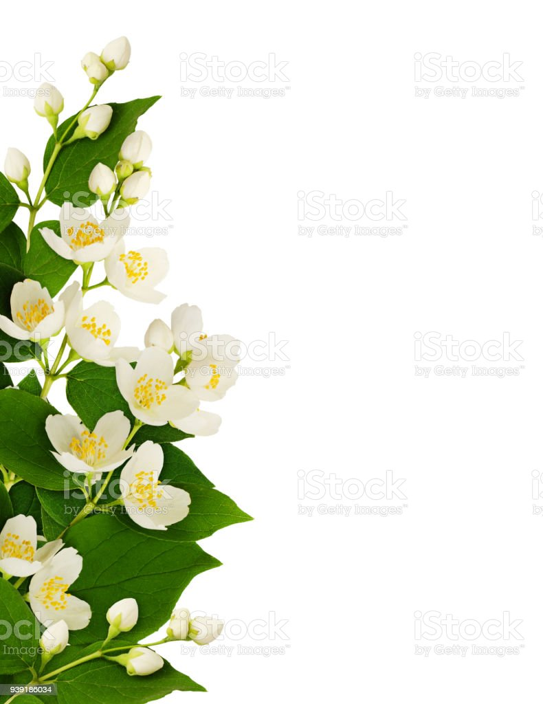 Border Arrangement With Jasmine Flowers And Leaves Stock Photo