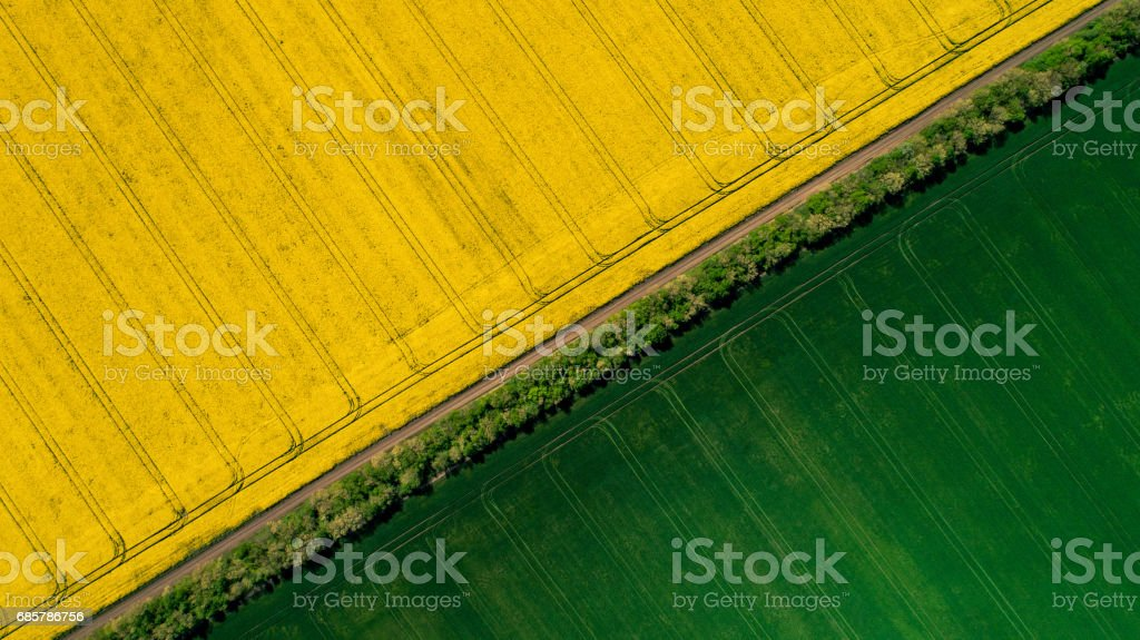 Border between a green and a yellow colza fields foto de stock libre de derechos
