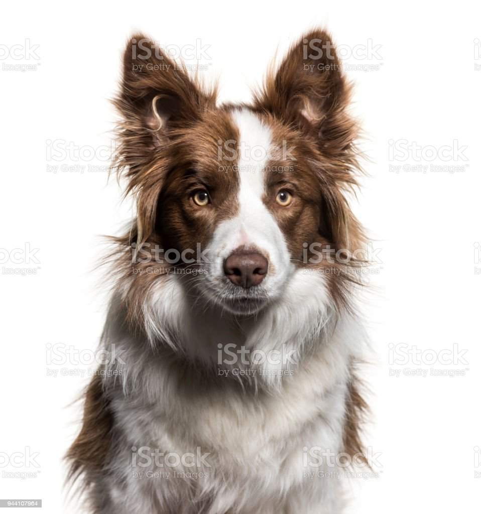 Border Collie 1 Year Old Portrait Against White Background