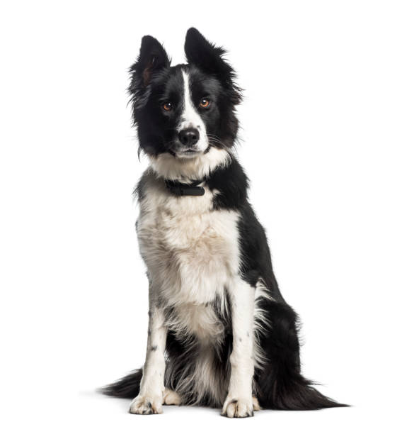 Border collie 1 year old sitting in front of white background picture id1137958062?b=1&k=6&m=1137958062&s=612x612&w=0&h=siexhnemvpgx7y8cni8xjja2icu0cpj tg inbkgyzw=