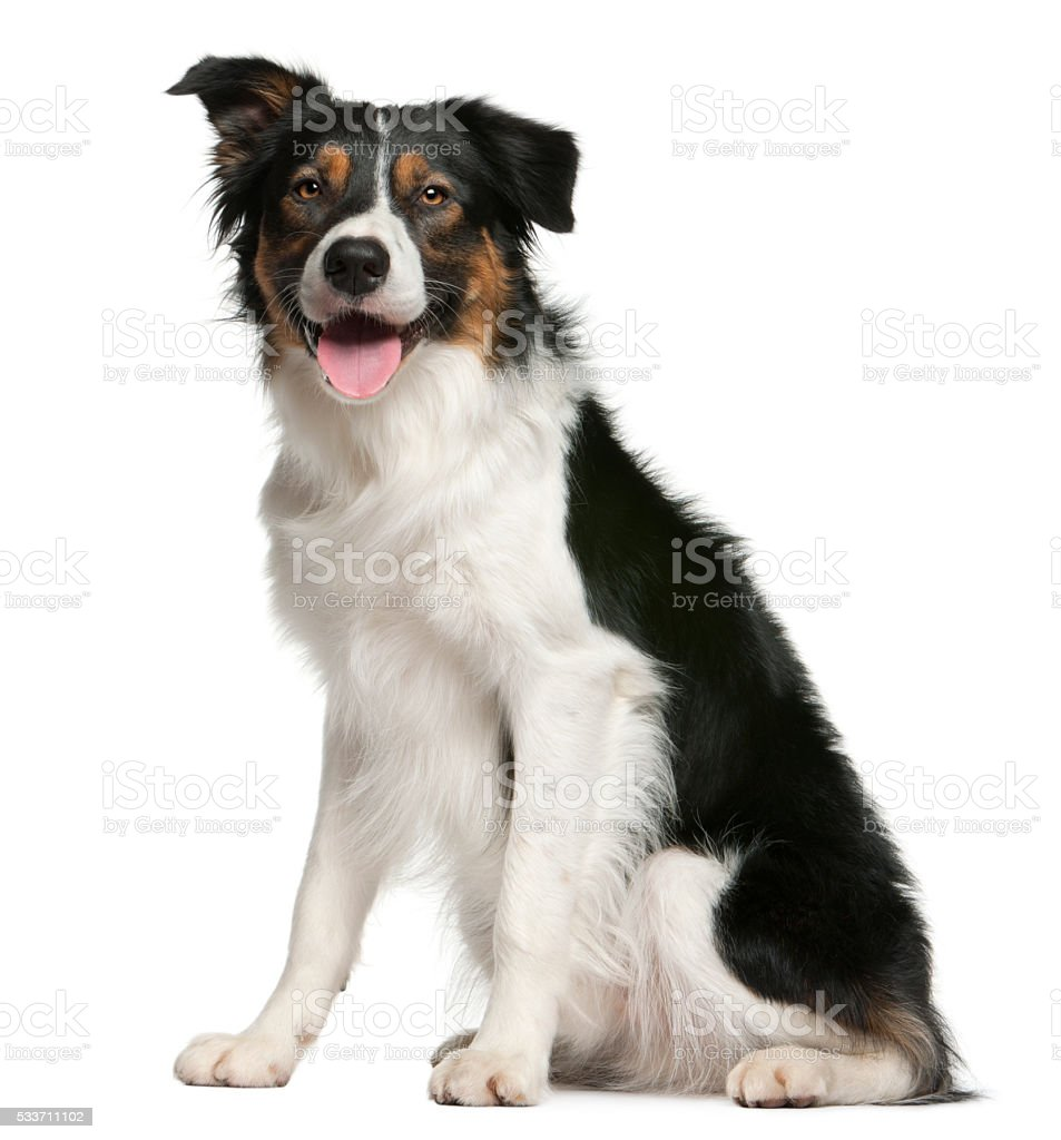 Border collie, 12 months old, sitting stock photo