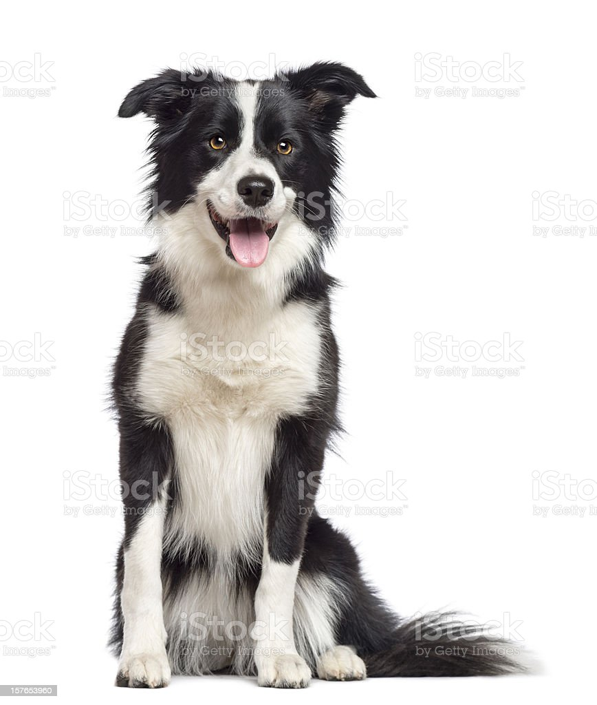 Border Collie, 1.5 years old, sitting and looking away Border Collie, 1.5 years old, sitting and looking away against white background Animal Stock Photo