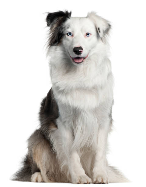 Border collie 2 years old sitting in front of white background picture id824149754?b=1&k=6&m=824149754&s=612x612&w=0&h=iyins56xay2vvlq8ipwr5rolppw0bv6giy04ud8bvh4=