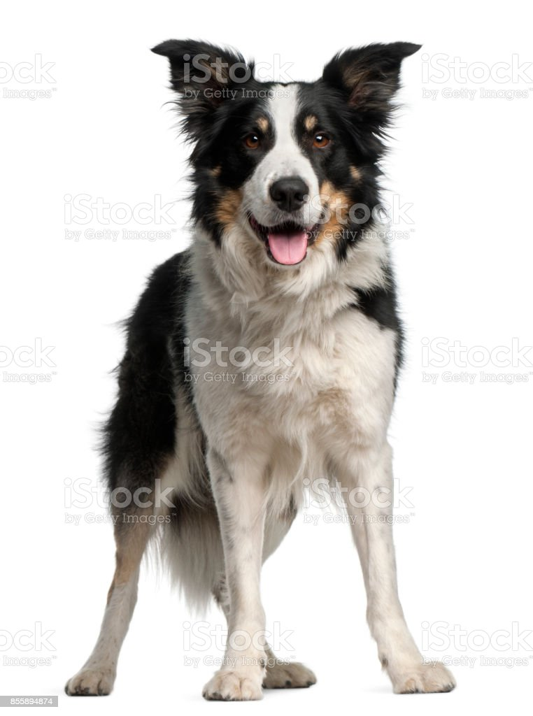 Border Collie, 5 and a half years old, standing in front of white background stock photo