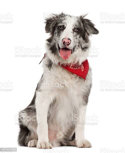 Border collie 7 months old sitting against white background picture id471447333?b=1&k=6&m=471447333&s=612x612&h=cqmg97ypkw8n7k6ad5tvrll23y0mcb2numbdohe8 jk=