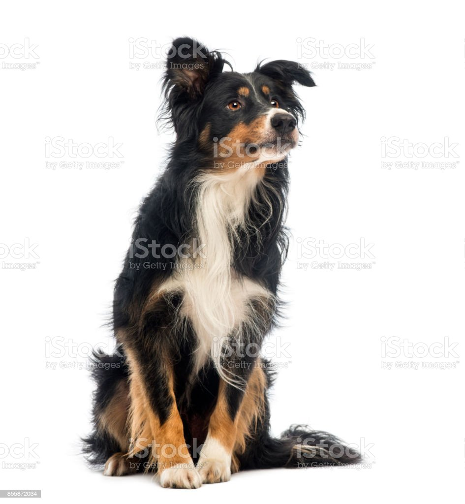 Border Collie, 8.5 years old, sitting and looking up in front of white background stock photo