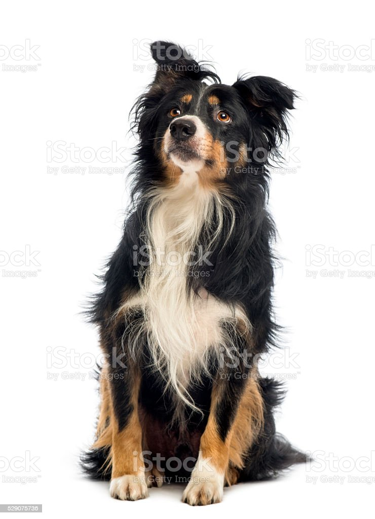 Border Collie, 8.5 years old, sitting and looking up stock photo