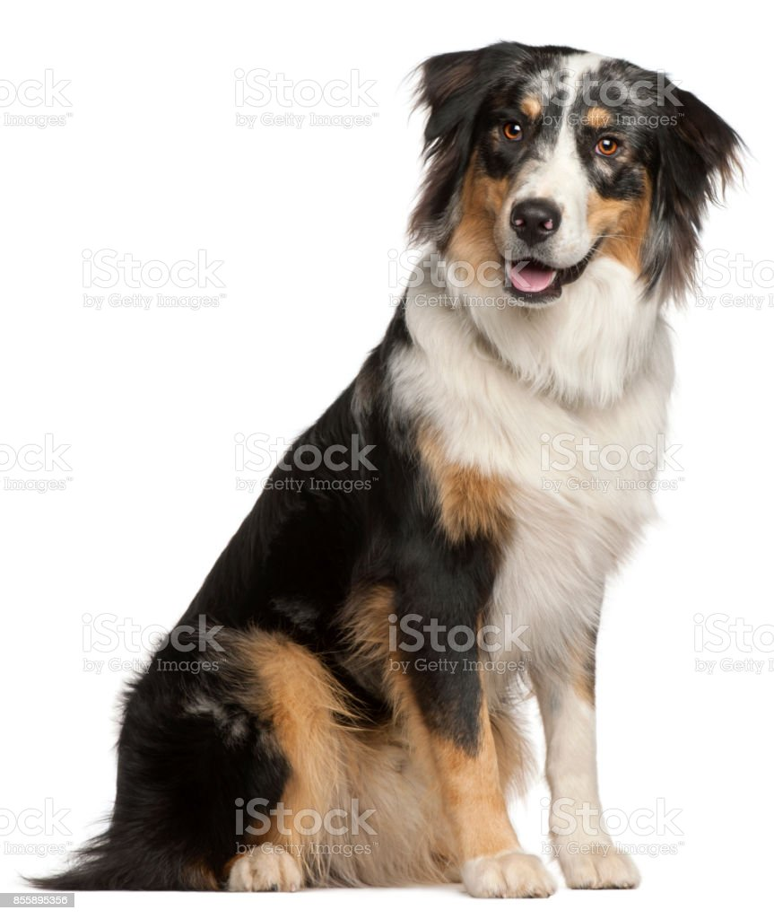 Border Collie, 9 months old, sitting in front of white background stock photo