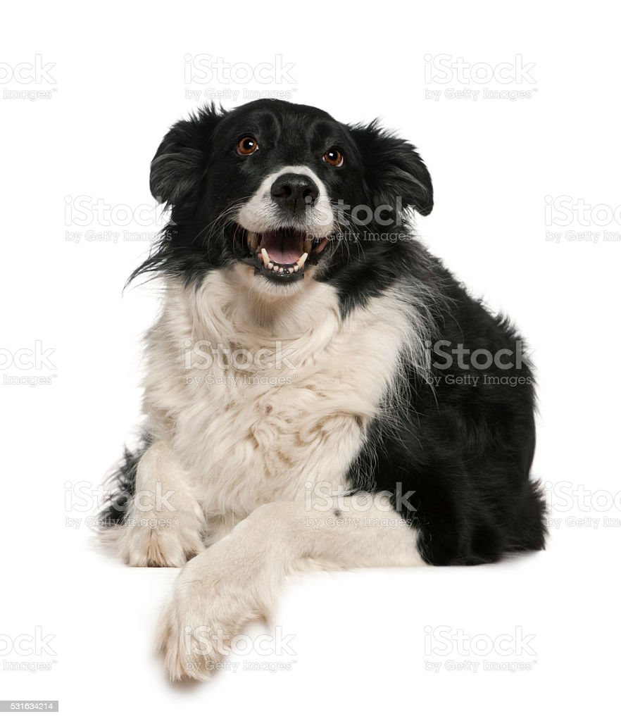 Border Collie, 9 years old, lying stock photo