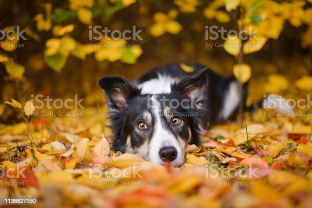 Border collie and autumn colors picture id1138827150?b=1&k=6&m=1138827150&s=612x612&h= xgngvp1lhpinfyv w m2apxdze7s1qa80cpa1tczzm=