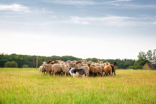 Border collie and flock of sheep Purebred border collie herding a flock of sheep on a summer day. herding stock pictures, royalty-free photos & images