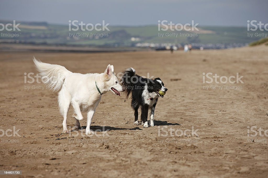 Border collie and white retriever running on the beach stock photo