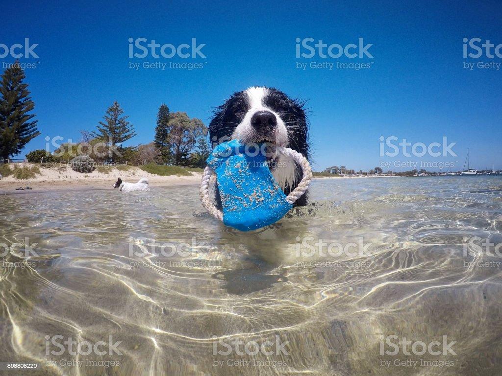 Border Collie At Beach stock photo