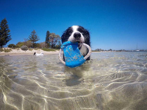 Border Collie At Beach A Border Collie dog in the water at the beach, Western Australia. Gopro image wading stock pictures, royalty-free photos & images