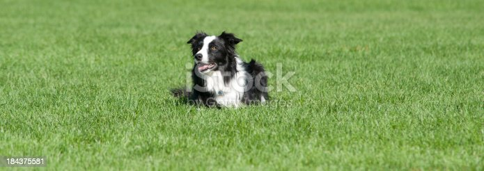 istock Border Collie At Rest 184375581