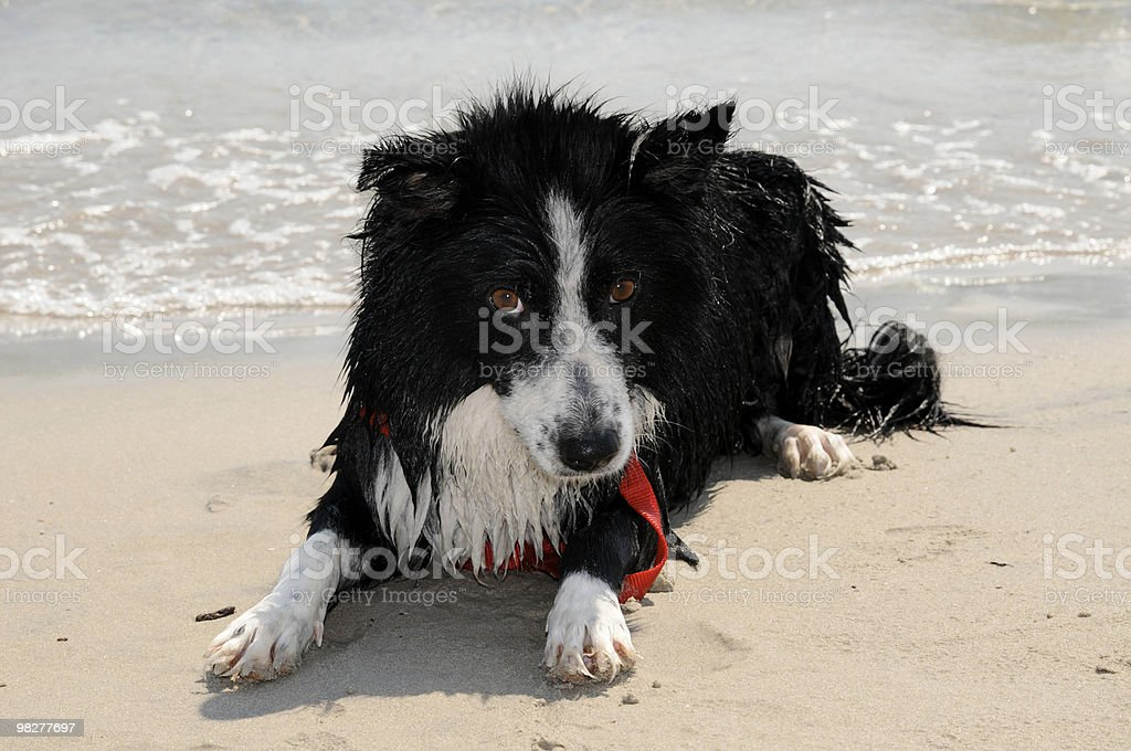 Border collie in spiaggia (Serie foto stock royalty-free