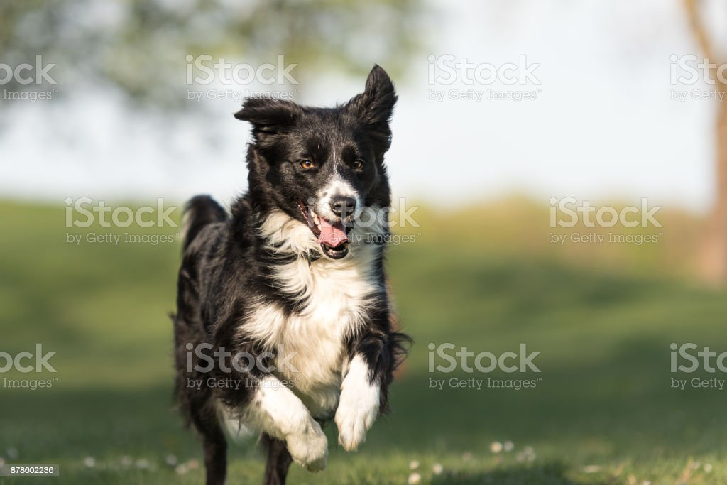Border Collie - beautiful dog runs happily  across a green field in spring stock photo