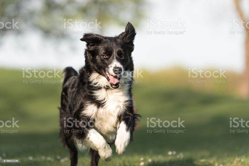 Border Collie - mooie hond loopt gelukkig over een groen gebied in het voorjaar foto
